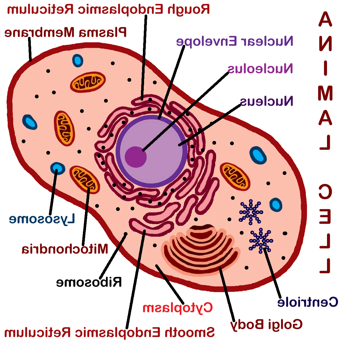 Diagram Technology Templates And Examples Part 2 Filesimple Of Animal Cell Ensvg Wikimedia Commons Drawing At Getdrawings Com Free For Personal Use