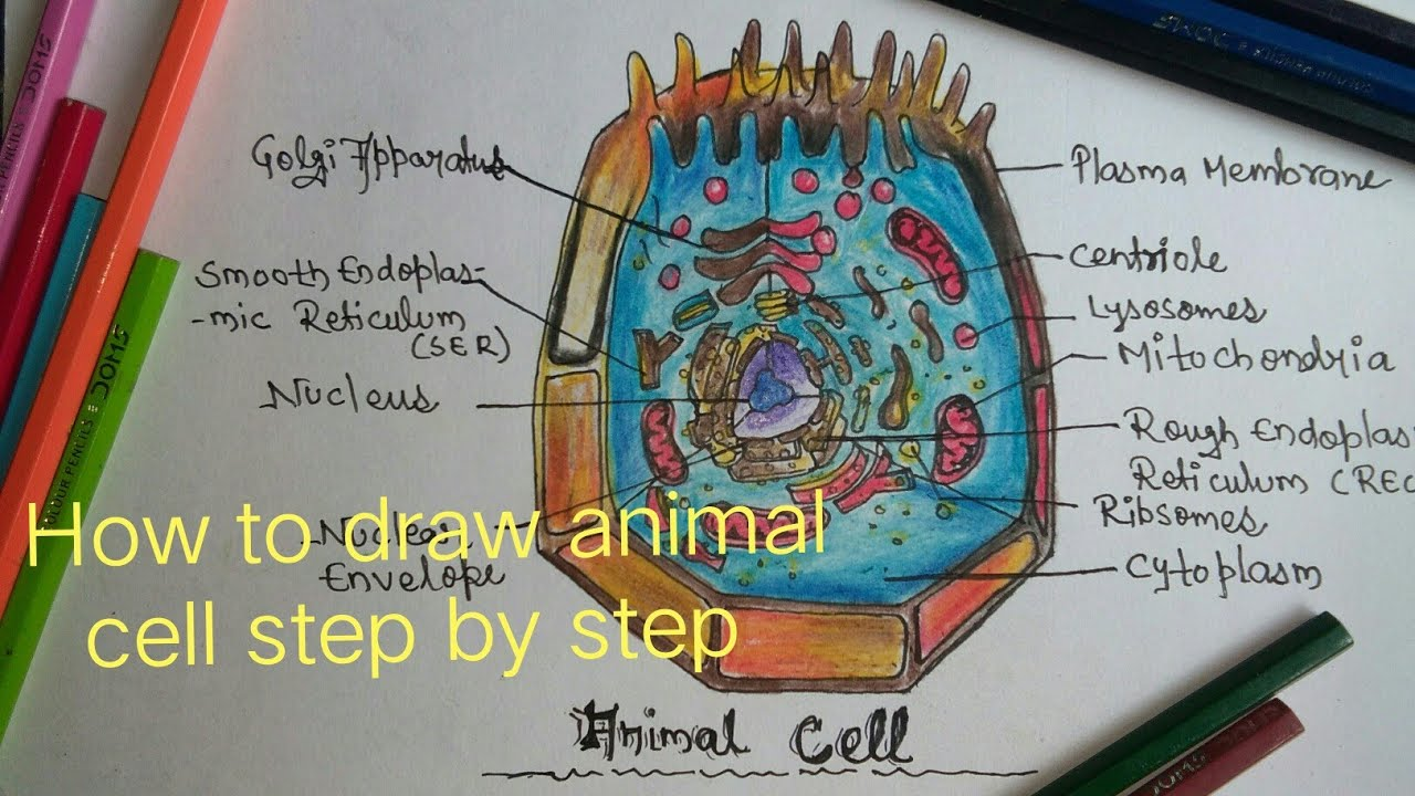 Animal Cell Drawing at GetDrawings | Free download