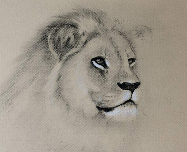 640x520 Drawing Animals With Charcoal Lion