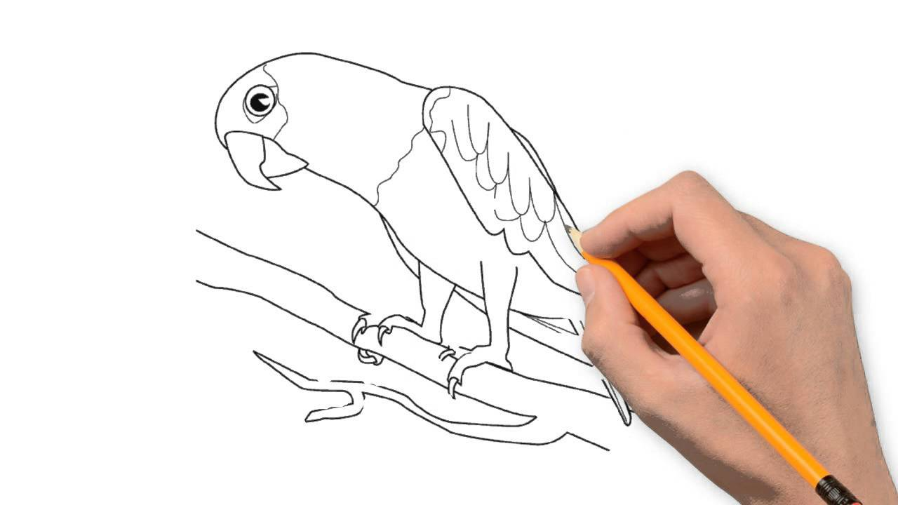 1280x720 Parrot Animals Pencil To Draw Step By Step