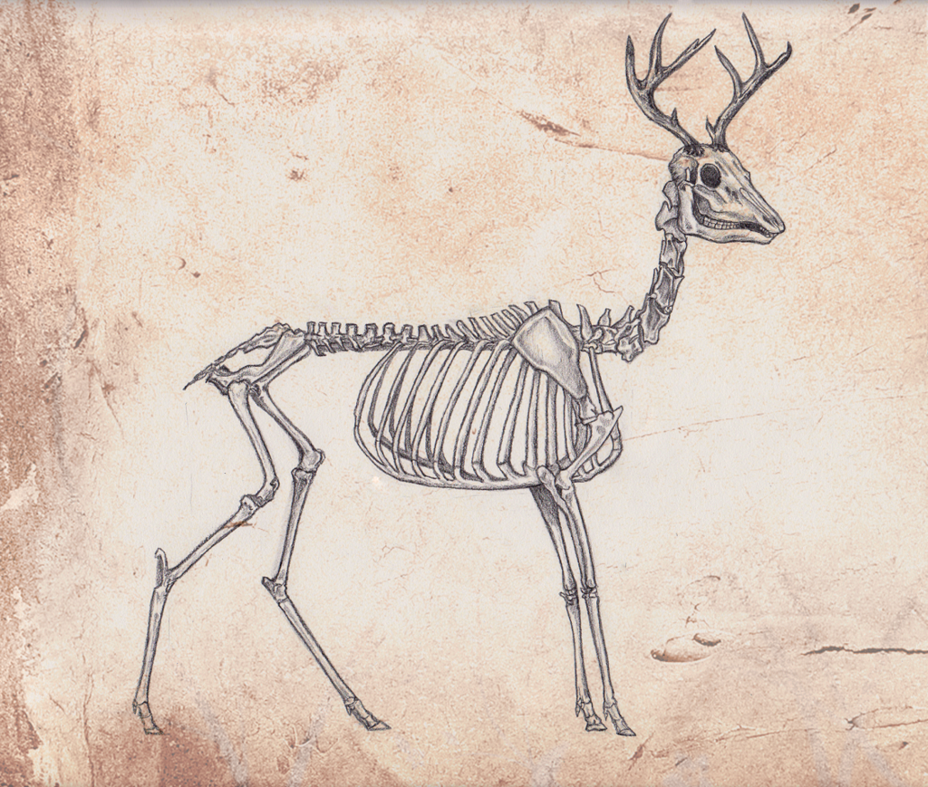 Animal Skeleton Drawing at GetDrawings com | Free for