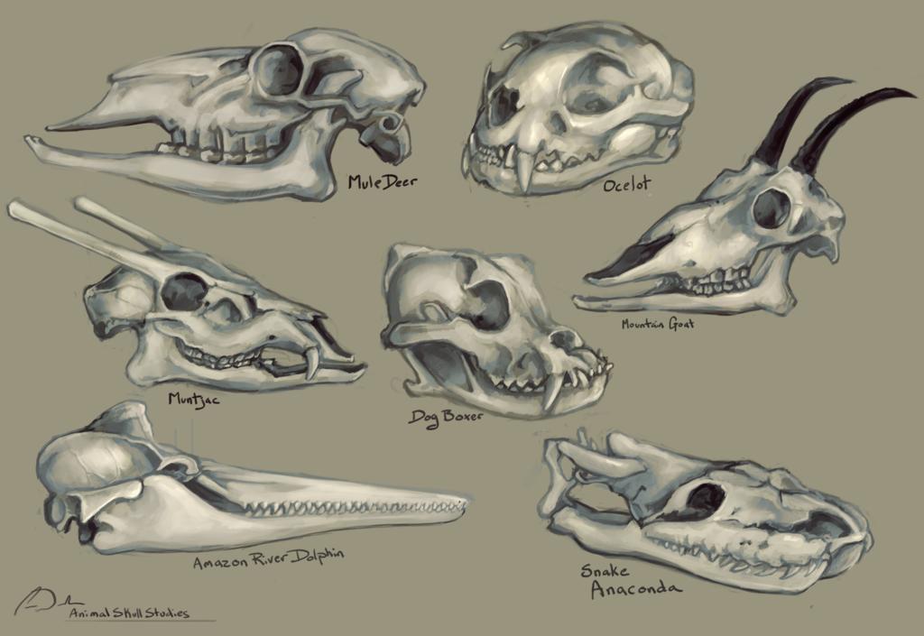 1024x705 Animal Skulls Study By Charfade