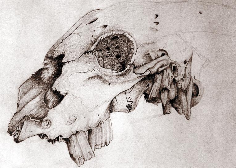 764x545 Animal Skull Contour