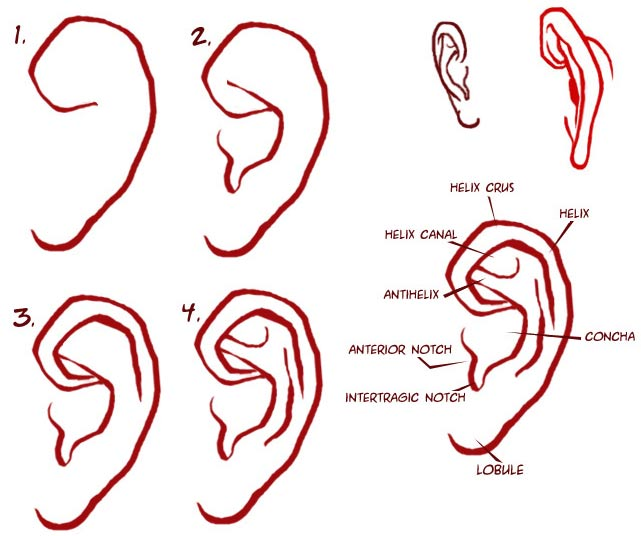 641x536 To Draw Ears