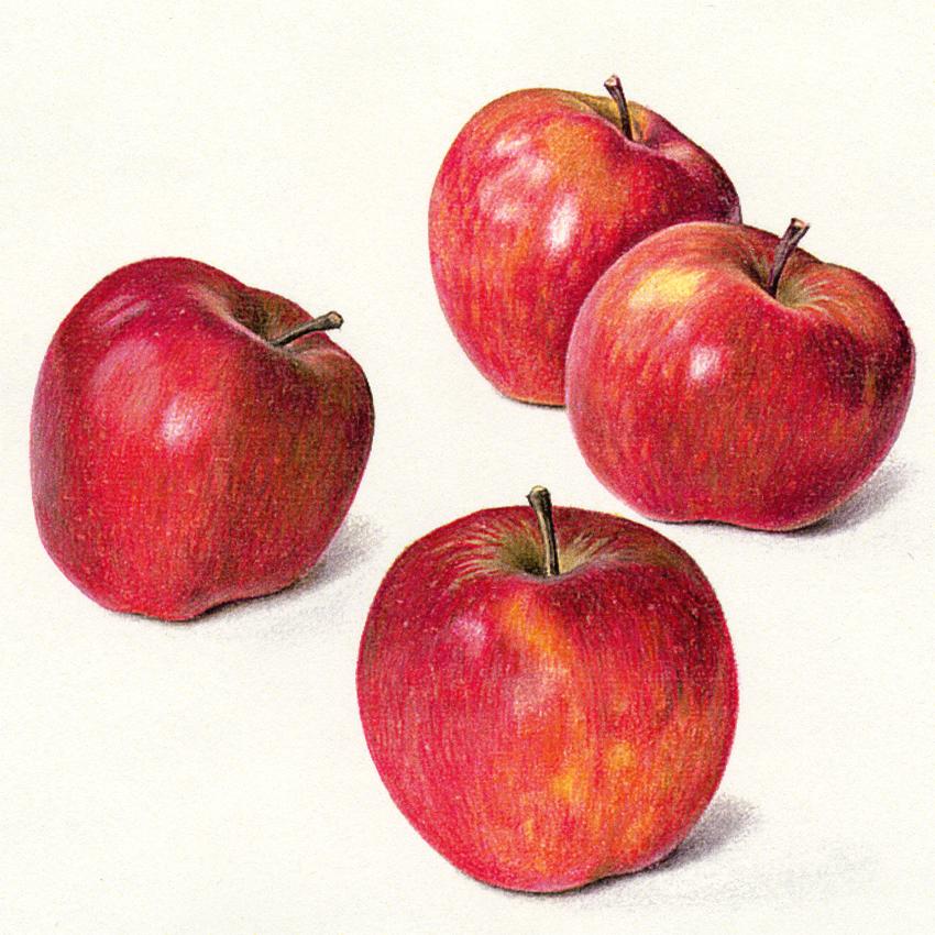 850x850 Four Apples