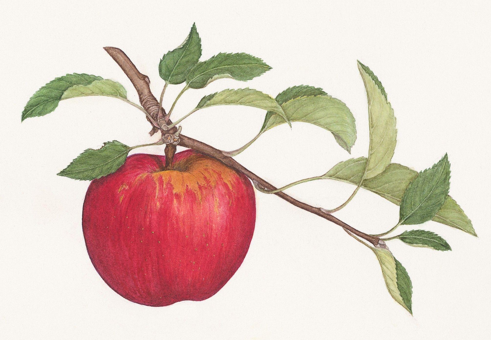 2010x1395 Apple Drawing