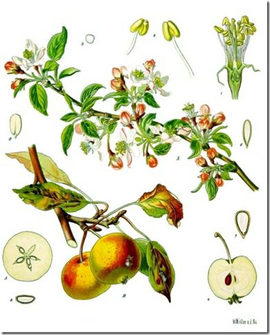 391x484 Wild Crab Apple Or Wild Apple