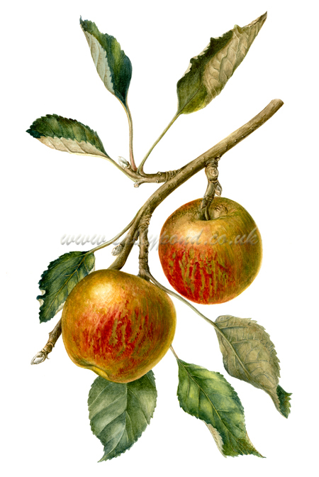 450x672 Botanical Illustration Of Two Cox Apples Hanging From A Branch
