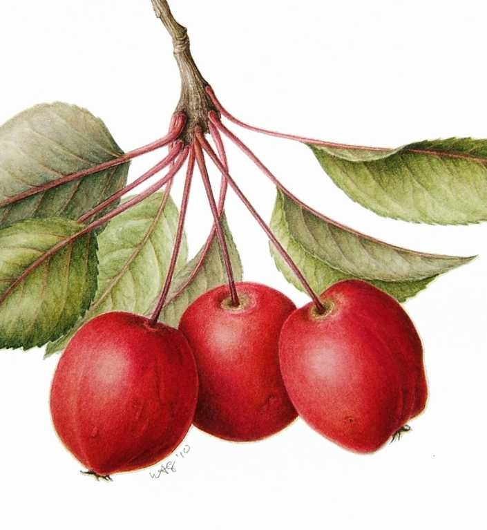 705x767 24 Best Botanical Apples Images On Botanical