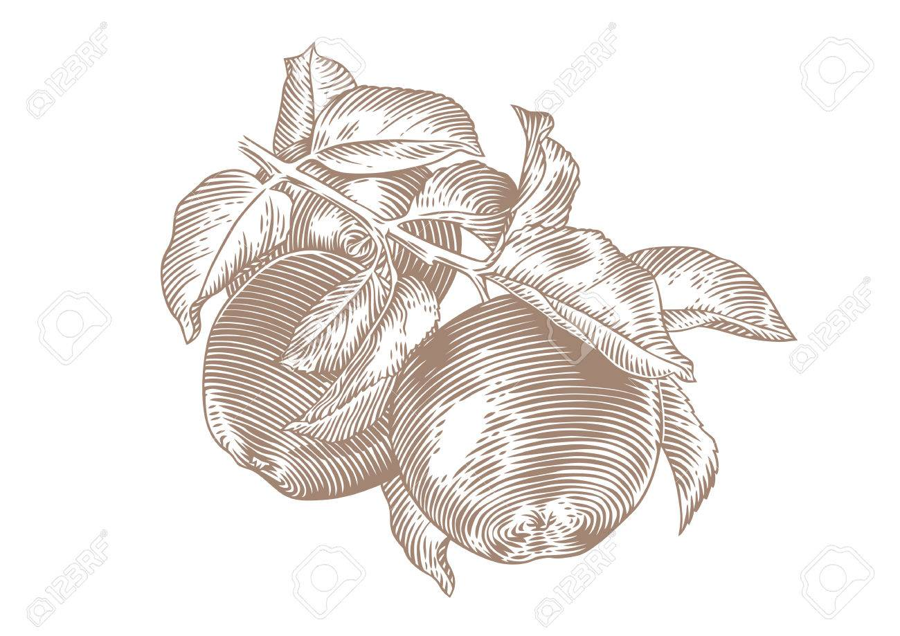 1300x919 Drawing Of Apple Branch With Apples And Leaves On The White