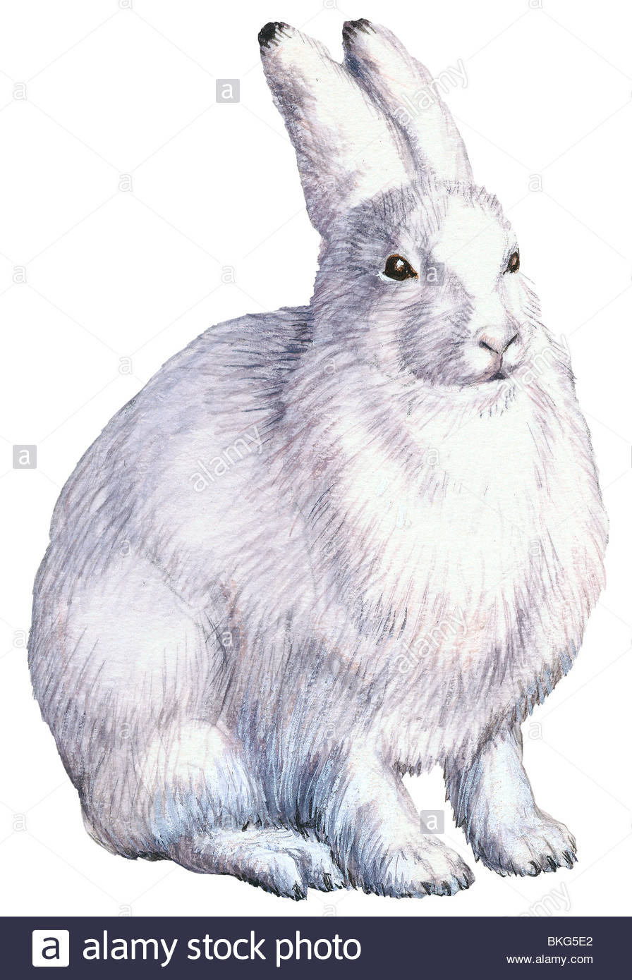 896x1390 Arctic Hare Stock Photo, Royalty Free Image 29244378