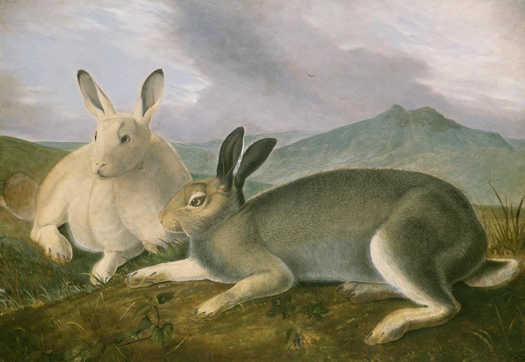 1024x707 John James Audubon Arctic Hare (Ca. 1841) Artsy
