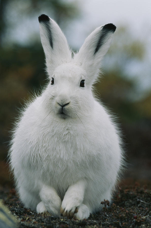595x900 Portrait Of An Arctic Hare Photograph By Norbert Rosing