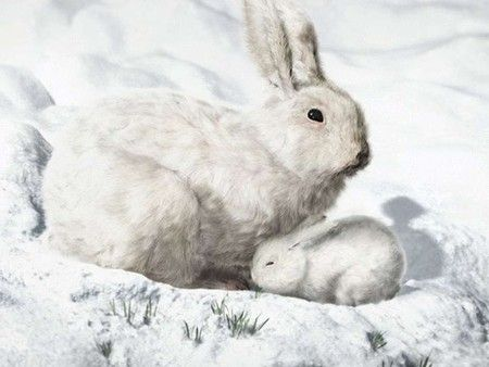 450x338 Arctic Hare With Cub Arctic Hare Arctic Hare