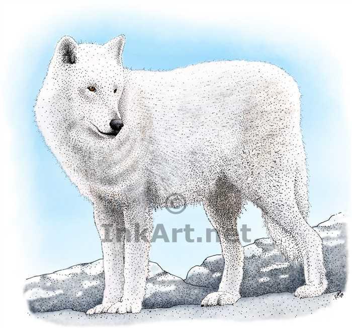 700x651 Arctic Wolf Stock Art Illustration