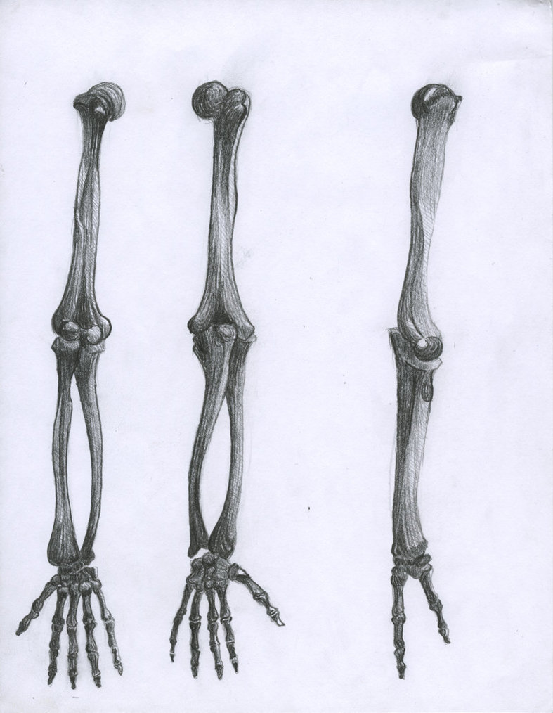 Arm Bones Drawing At Getdrawings Free For Personal Use Arm