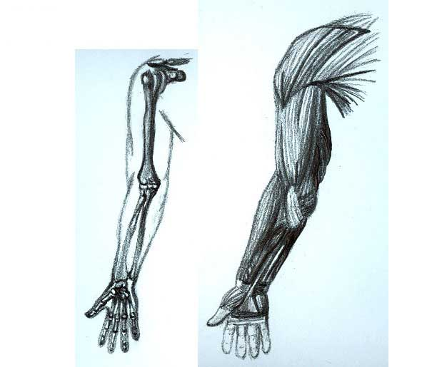 Arm Bones Drawing at GetDrawings.com | Free for personal use Arm ...