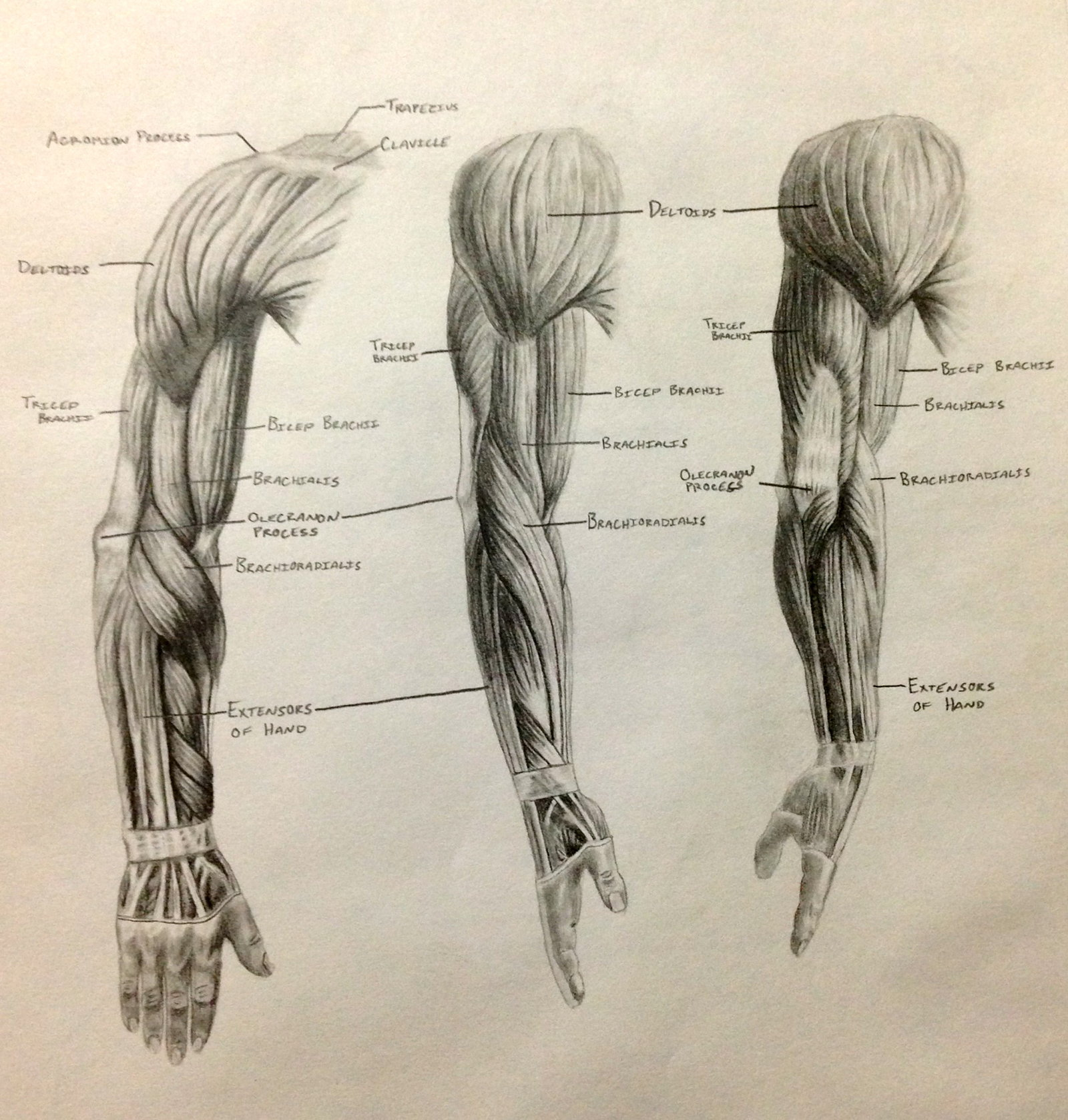 Arm Muscle Drawing at GetDrawings.com | Free for personal use Arm ...