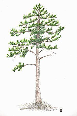 300x450 How To Draw A Pine Tree Pine Tree Pencil Drawing Jack Pine Tree