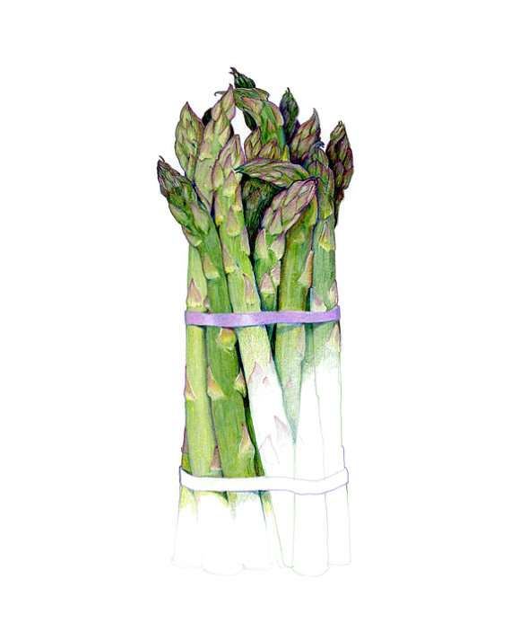 570x713 Asparagus Archival Print Of My Colored Pencil Drawing