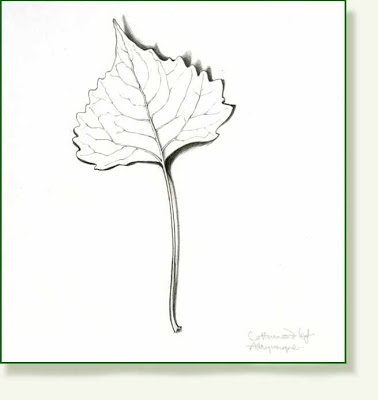 378x400 Pencil And Leaf Leaf Of The Day Cottonwood Leaf