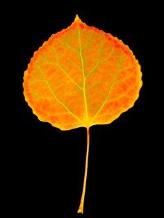 236x314 Watercolor Changing Aspen Leaf Inkspiration Aspen