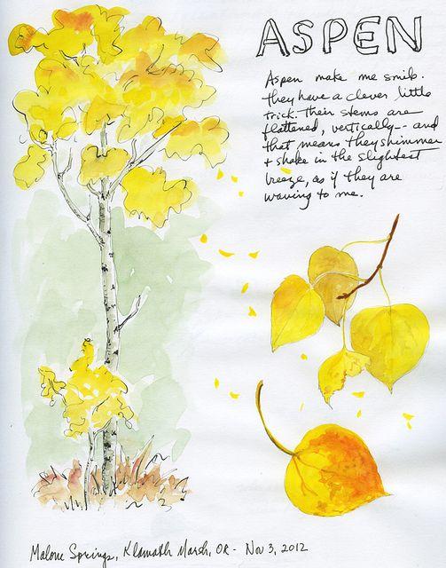 503x640 Quaking Aspen Tree Sketches, Aspen And Sketches