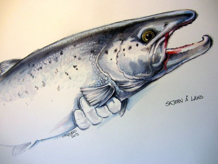 736x552 64 Best Fish Drawings, Atlantic Salmon, Trout. Images