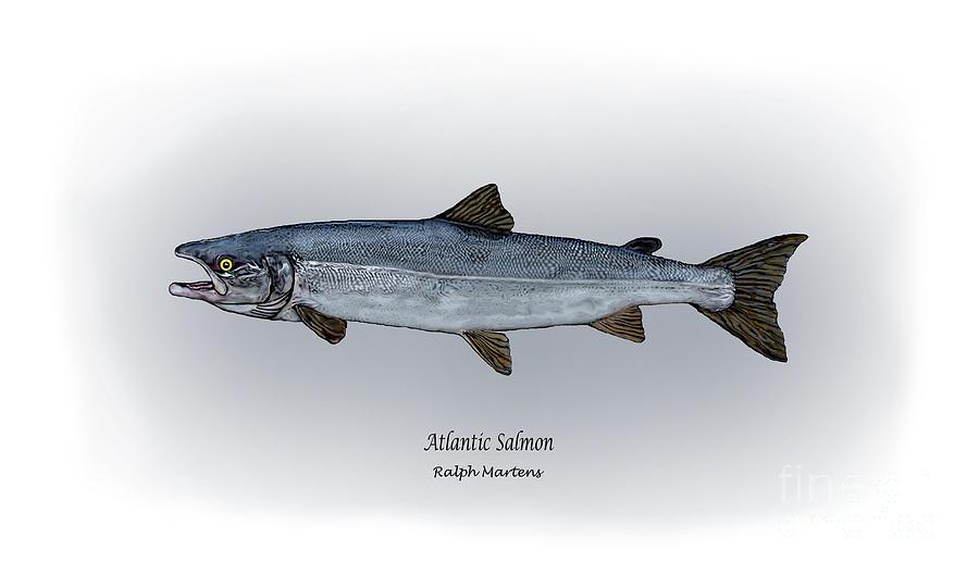 900x529 Atlantic Salmon Drawing By Ralph Martens
