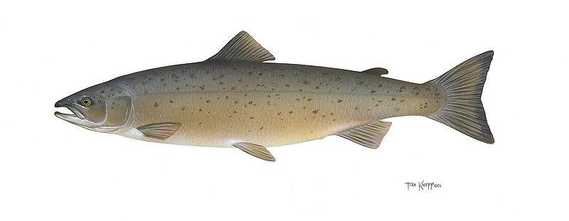 800x311 Atlantic Salmon Salmo Salar