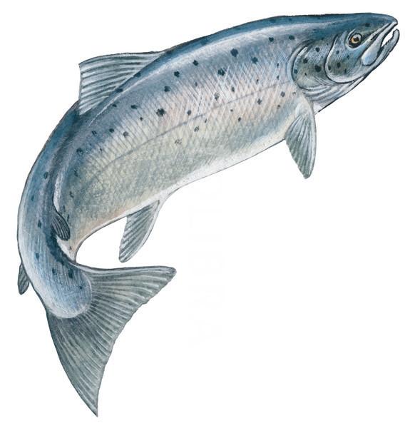 582x600 Atlantic Salmon Drawing