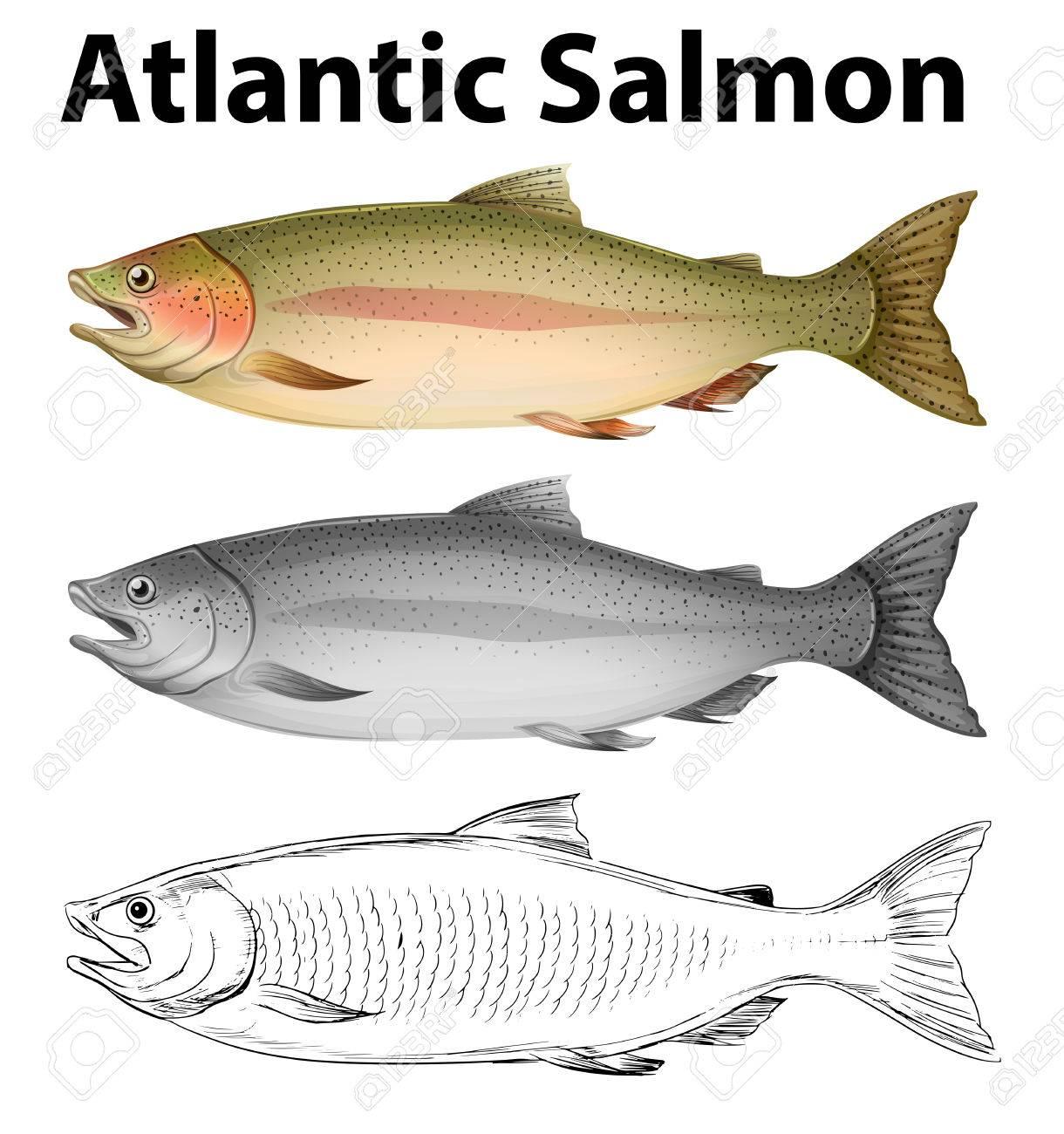 1220x1300 Three Drawing Styles Of Atlantic Salmon Illustration Royalty Free