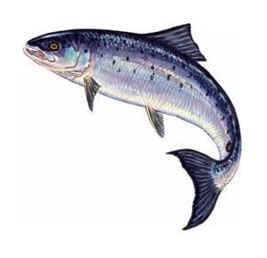 300x290 Leaping Salmon Drawings