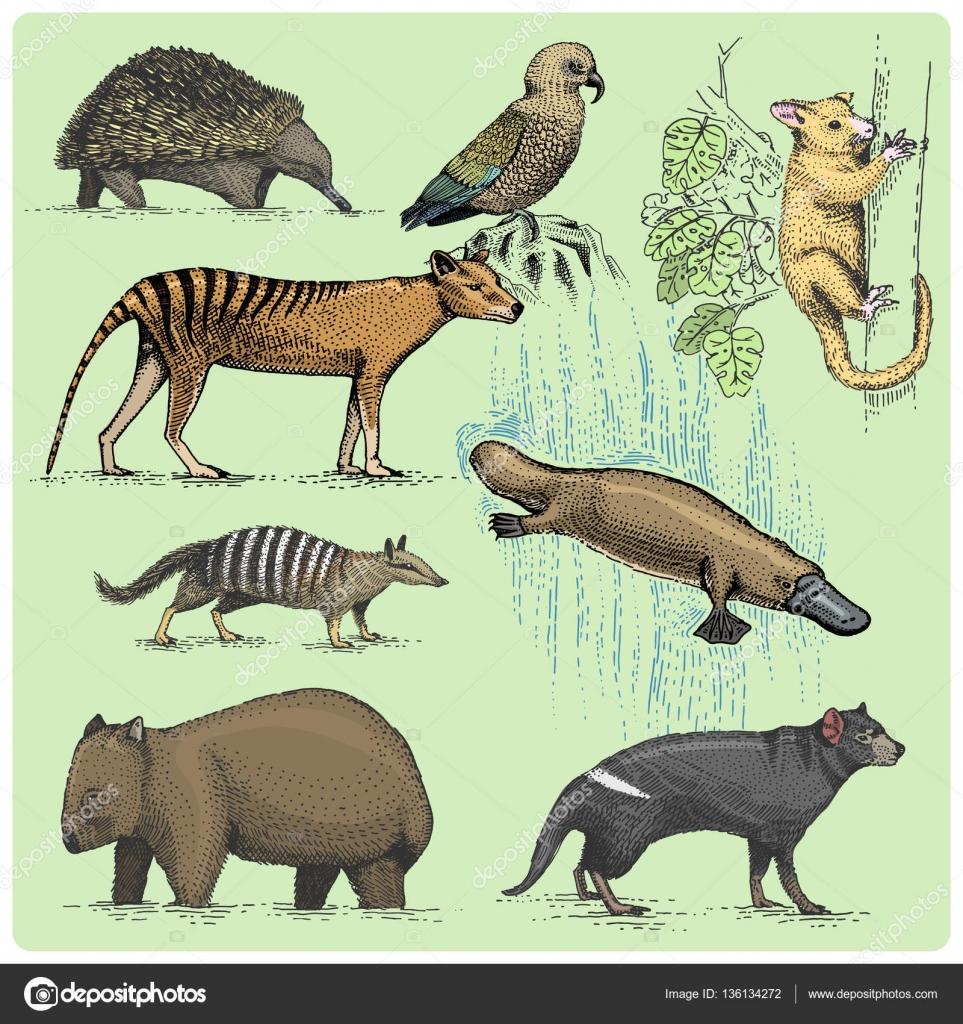 963x1024 Set Of Australian Animals Engraved, Hand Drawn Vector Illustration