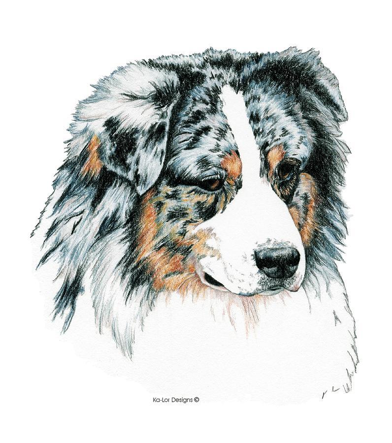 796x900 Australian Shepherd, Blue Merle Drawing By Kathleen Sepulveda