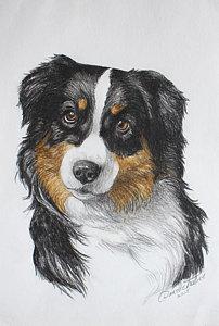 202x300 Australian Shepherd Drawings Fine Art America
