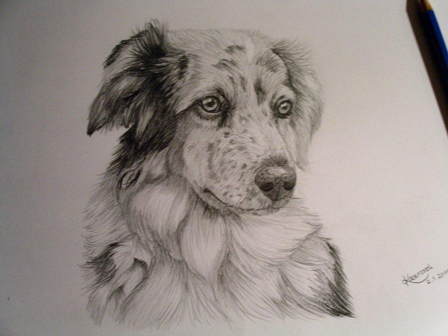 900x675 Australian Shepherd By Confidentialmelli