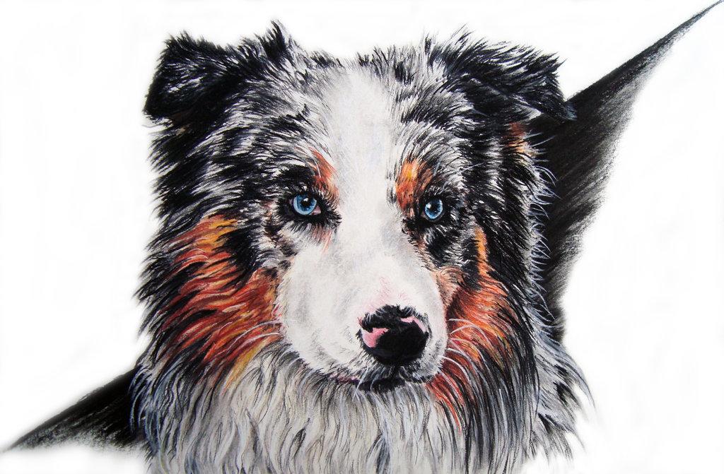 1024x671 Australian Shepherd By Draw My Pets