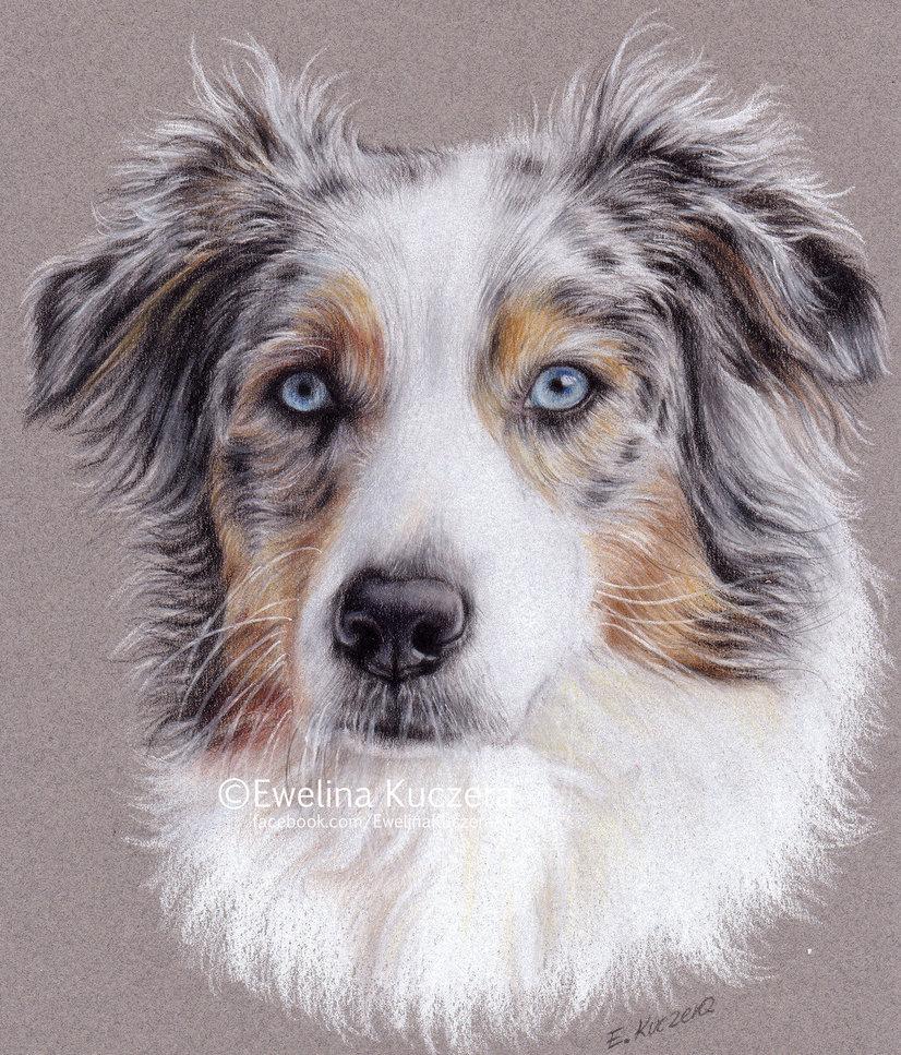 826x967 Australian Shepherd By Kot Filemon