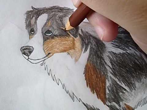 480x360 Drawing An Australian Shepherd.