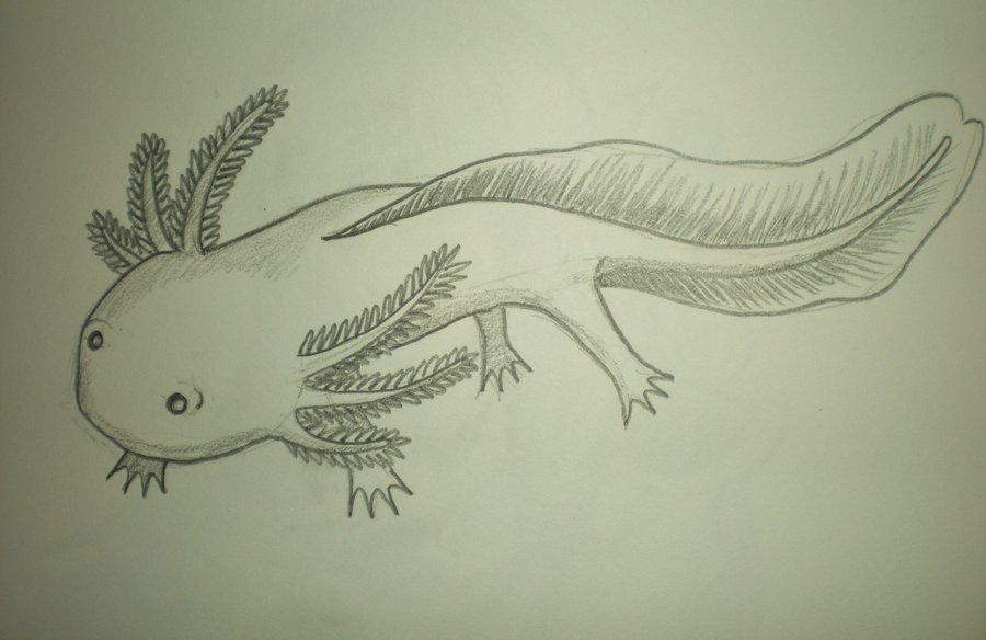 900x584 Cartoon Axolotl By Starbuxx