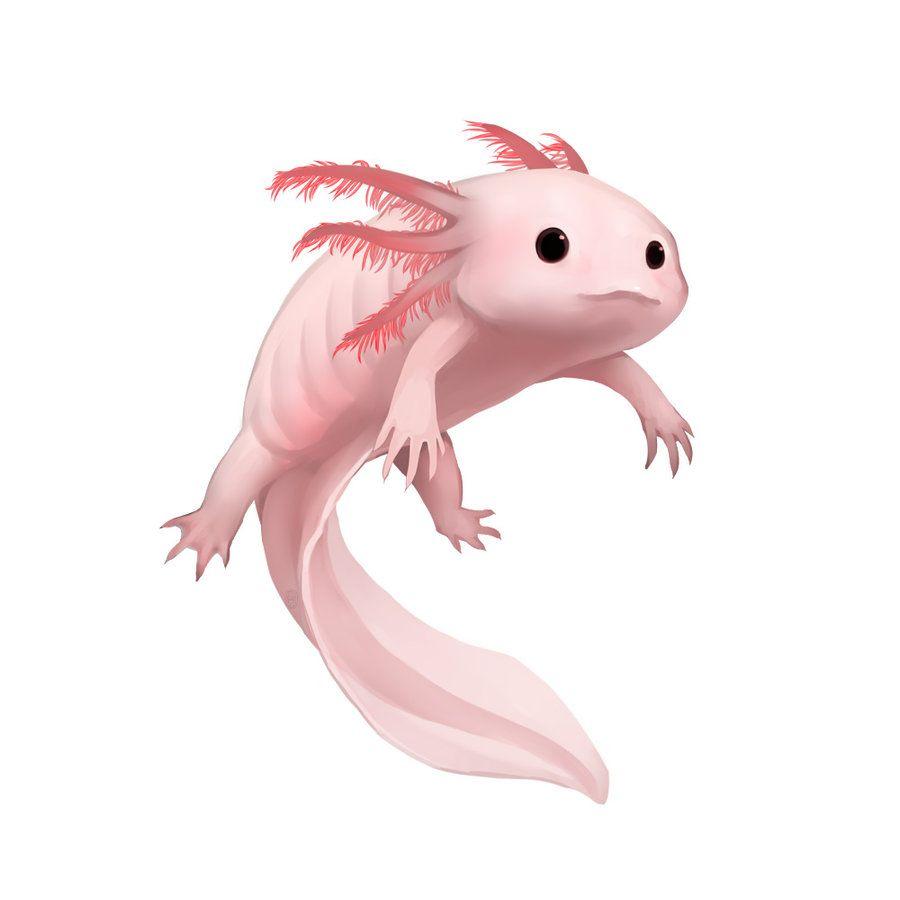 900x900 Axolotl