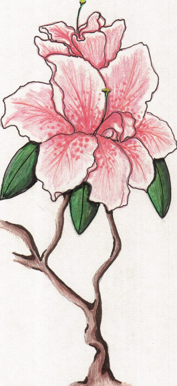 606x1316 Azalea Drawing