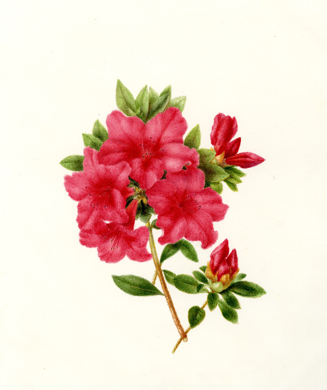 Azalea Flower Drawing at GetDrawings.com | Free for personal use ...