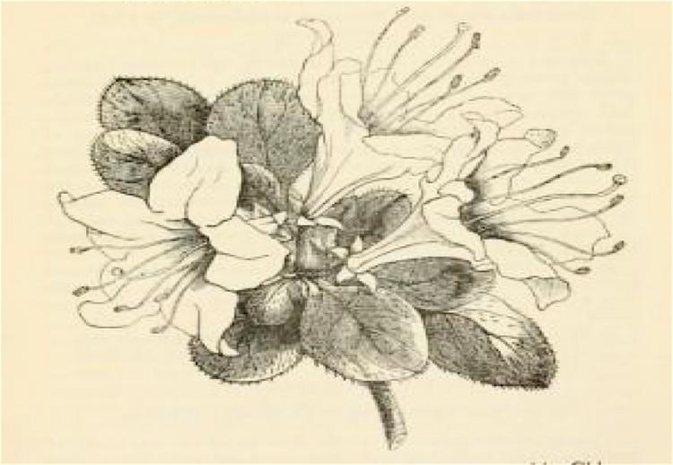 750x518 Hortus Camdenensis Rhododendron Indicum