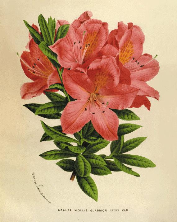 570x713 Vintage Azalea Antique Botanical Art Prints Tattoo Inspiration