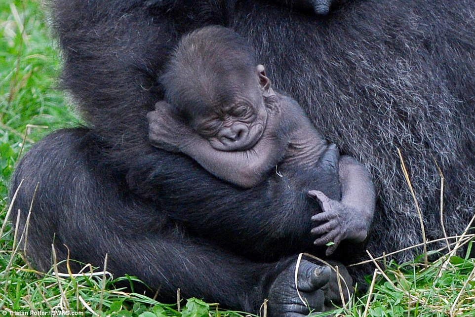 962x642 Baby Gorilla Is Cradled By Her 16 Stone Mother After Being Born