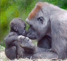 236x214 Image Result For Baby Gorilla Drawing Art Baby