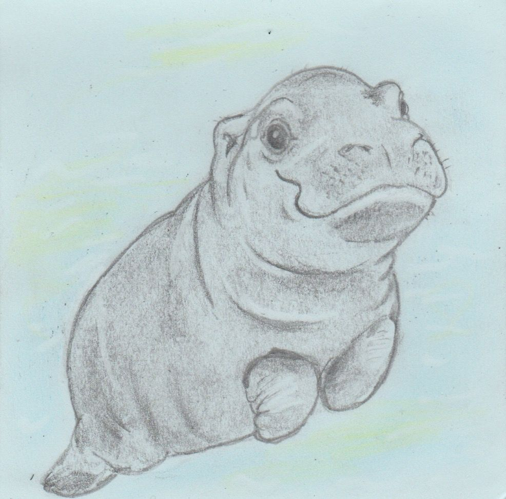 986x971 San Diego Zoo Baby Hippo, Quick Drawing Project, Pencil On Paper