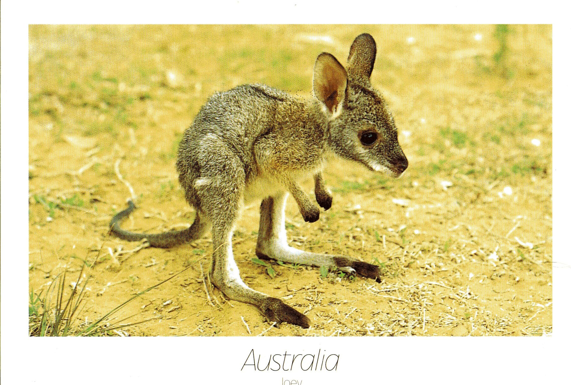 1962x1323 A Baby Kangaroo In My Mailbox ) The Public Postcard
